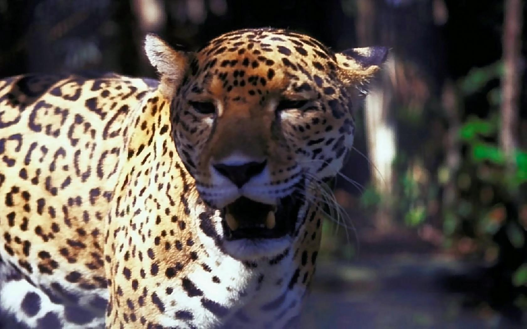 Bilder Panther