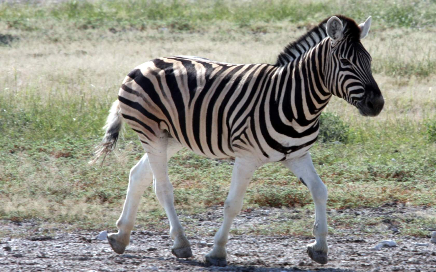 bilder zebra