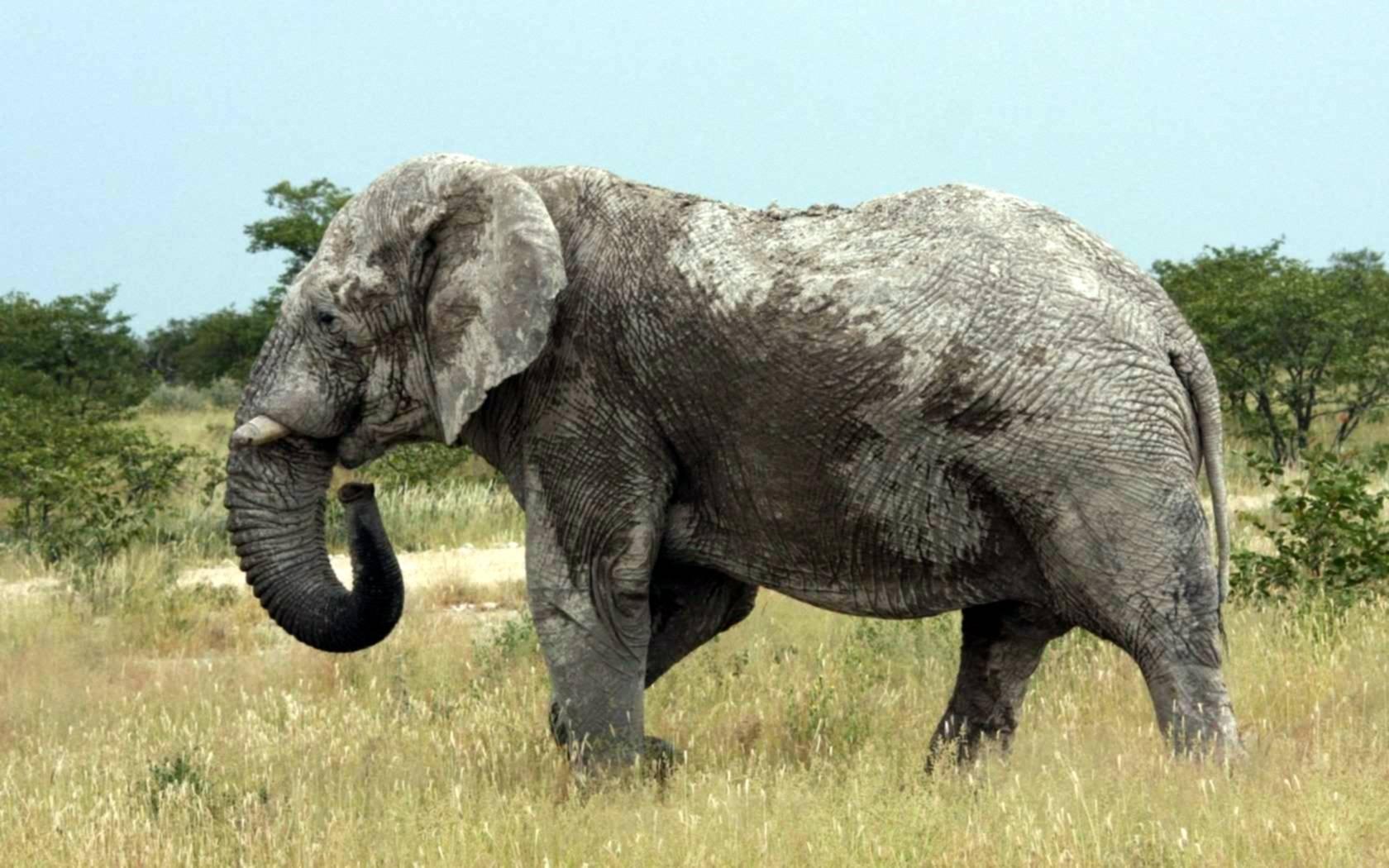 elefanten bilder kostenlos. Black Bedroom Furniture Sets. Home Design Ideas
