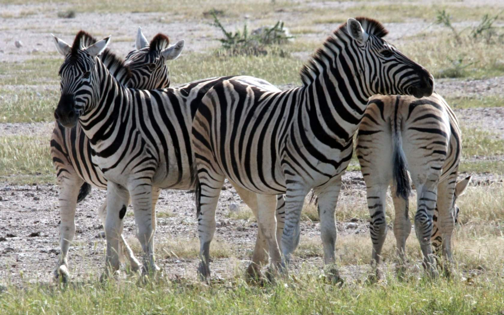 zebra fotos